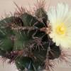 サボテンの花は1/365