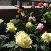 春のバラ ~フォーエバー・シリーズ Vol.2~