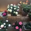 咲きほこる春のバラたち